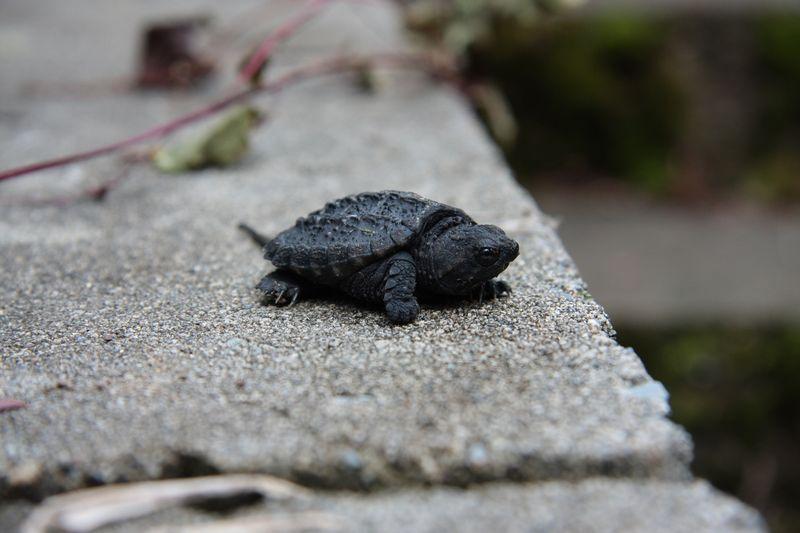 Morris p turtle II