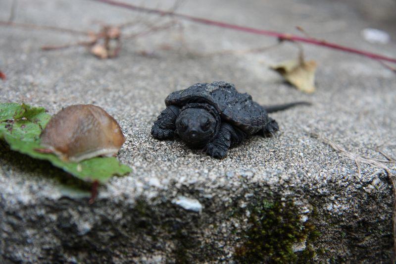Morris p turtle